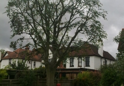Copper Beech Reduction - Tree Surgery in Guildford